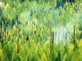 A Forest is Born After the Fire, Glacier National Park, Montana
