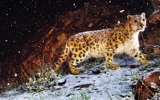 Snow-Leopard-Flurries