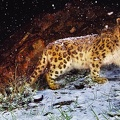 Snow-Leopard-Flurries||<img src=_data/i/upload/2010/04/05/20100405122728-bd6037db-th.jpg>