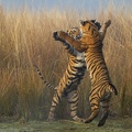 Tigers fighting||<img src=_data/i/upload/2015/07/26/20150726045636-2c7f2099-th.jpg>